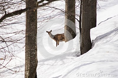 Female deer young near trees hides from photgrapher