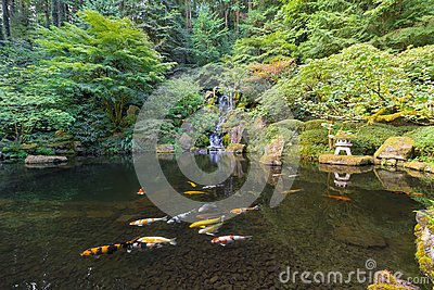 Koi Fish in Waterfall Pond at Japanese Garden