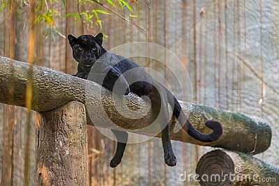 A black panther is the melanistic color variant of big cat