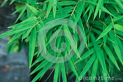 Bamboo green leaves natural background japanese environment chin
