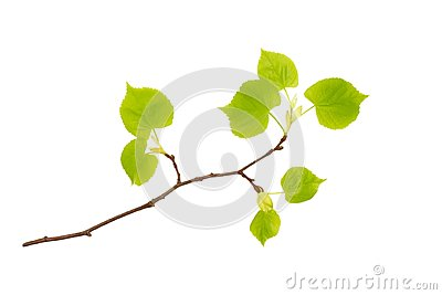 A front photo of spring linden tree branch isolated on white. Spring Easter twigs. Place for text, copyspace.