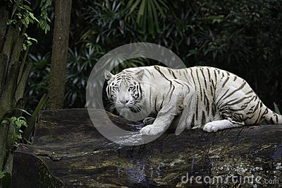 White Bengal tiger in a jungle