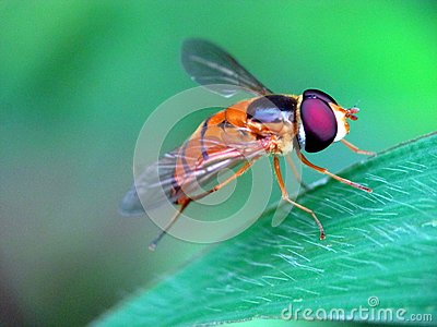 Flower fly on the weeds