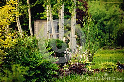 summer garden view with conifers, perennial and birch trees