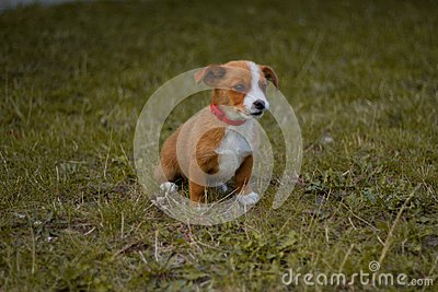 Dog, pet, animal, puppy, terrier, cute, jack russell terrier, beagle, canine, grass, white, brown, jack, russell, jack russell, br