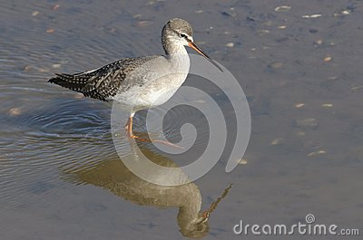 A stunning Spotted Redshank Tringa erythropus searching for food in a sea estuary.