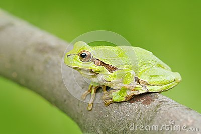 Green Tree frog, Hyla arborea, sitting on grass straw with clear green background. Nice green amphibian in nature habitat. Wild Eu