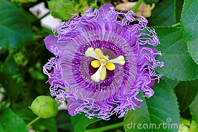Passionflower ultra violet bloom in green leaves