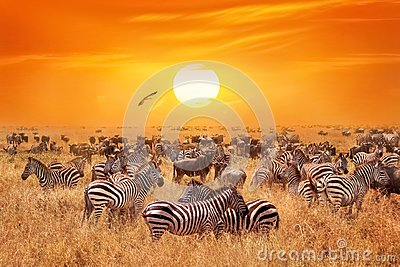 Groupe of wild zebras and antelopes in the African savanna against a beautiful orange sunset. Wild nature of Tanzania.