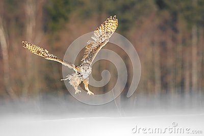 Eastern Siberian Eagle Owl flying in winter. Beautiful owl from Russia flying over snowy field. Winter scene with majestic rare ow