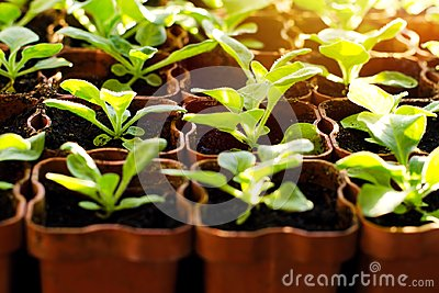 Small sprouts in brown pots, growing in the bright rays of the spring sun. The concept of gardening, environmental friendliness, f