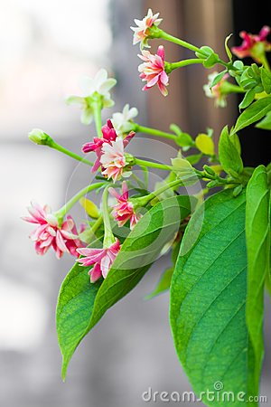 Pink and wihite Spider flower ,Cleome hassleriana isolate
