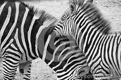 Zebra, Equus Quagga in the Zoo Blijdorp in the city Rotterdam in the summer in black and white.