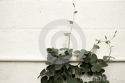 Ivy Gourds slither on the white concrete wall,Coccinia grandis.
