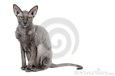 Oriental shorthair cat sitting and watching, gray animal pet, domestic kitty, purebred Cornish Rex. Isolated on white background.
