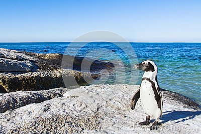 Beautiful african penguin on Boulders beach in Cape Town