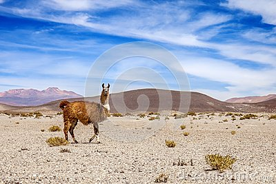 Wild lama on the mountains of Andes. mountain and blue sky in the background
