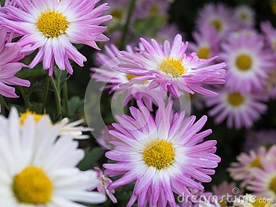 Pink and white mums in bloom