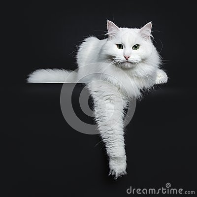 Solid white siberian on black background
