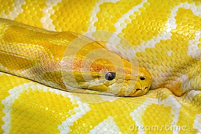 Colorful patterns and head of gold boa.