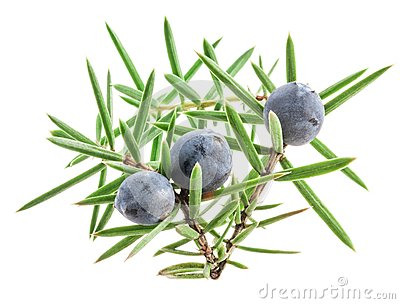 Juniper twig with berries isolated on white