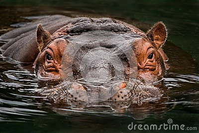 Submerged Hippo