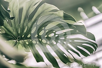 Tropical natural Monstera leaves with texture. Split-leaf philodendron, tropical foliage. Abstract natural pattern