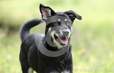 Happy dog wagging tail, Husky Shepherd mixed breed dog, pet rescue adoption photography