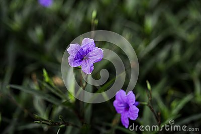 Selective solf focus beautiful purble color flower in the garden