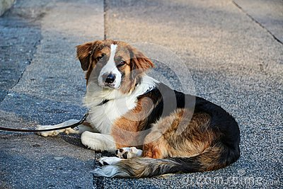 White black brown dog on lead with solemn face lying on street