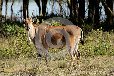 The common eland Taurotragus oryx in Africa savannah nature
