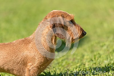 Closeup photo of a wire-haired dachshund