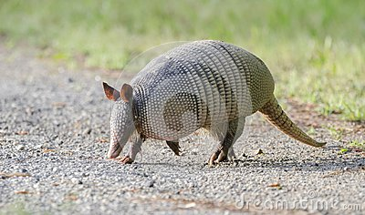 Nine banded armadillo on gravel road, Dasypus novemcinctus, Monroe GA USA