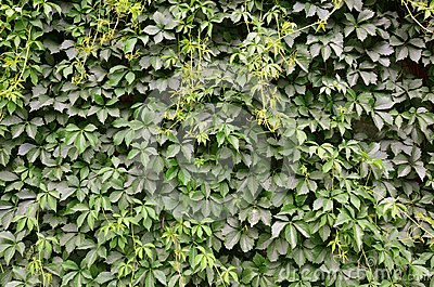 The texture of a lot of flowering green vines from wild ivy that cover a concrete wal