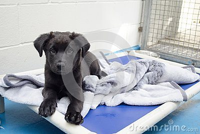 A black puppy lays on his bed at the animal shelter