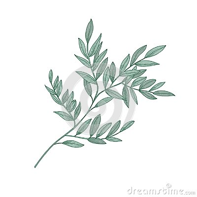 Ruscus sprig with green leaves isolated on white background. Beautiful natural drawing of gorgeous evergreen plant or