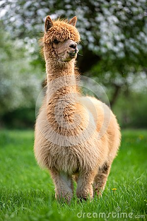 Adult Alpaca in the bosom of nature