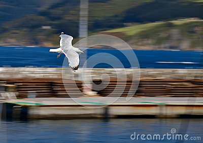 Seagull flying along the shore