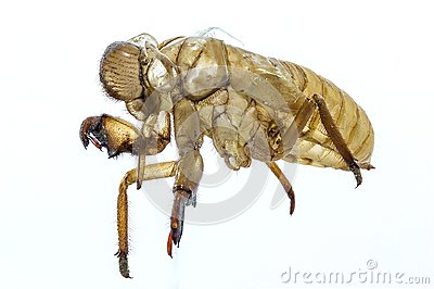 Mating cicada will occur at any one time.