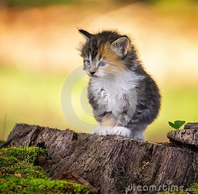 Kitten staring ahead