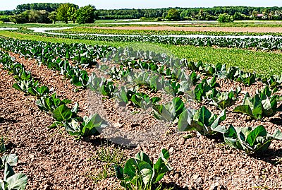 Organic farming in Germany - cultivation of cabbage