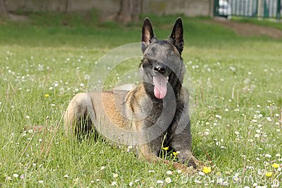 Malinois Belgian Shepherd dog in a couhed position without moving with a keen eye and waiting for orders