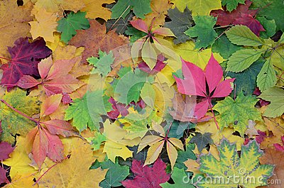 A large number of fallen and yellowed autumn leaves on the ground. Autumn background textur