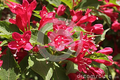 Blooming Oldfashioned Weigela