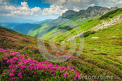 Magical pink rhododendron flowers in the mountains, Bucegi, Carpathians, Romania