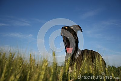Polish Greyhound, either in heaven or on earth
