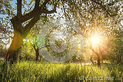 Summer blossoming apple orchard at sunrise. Bright warm sunlight in green garden in early morning. Trees in green garden