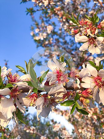 Orchard Blooms in Central Cali