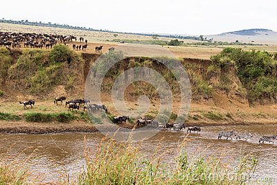 A lot of hoofed animals on the shore. Start for crossing. Kenya