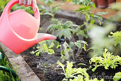 Watering seedling tomato plant in greenhouse garden with red watering can. Gardening concept